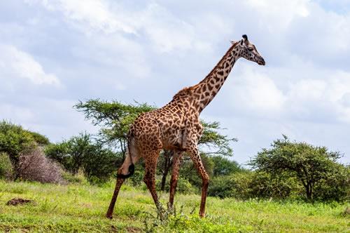 A giraffe at Masai Mara